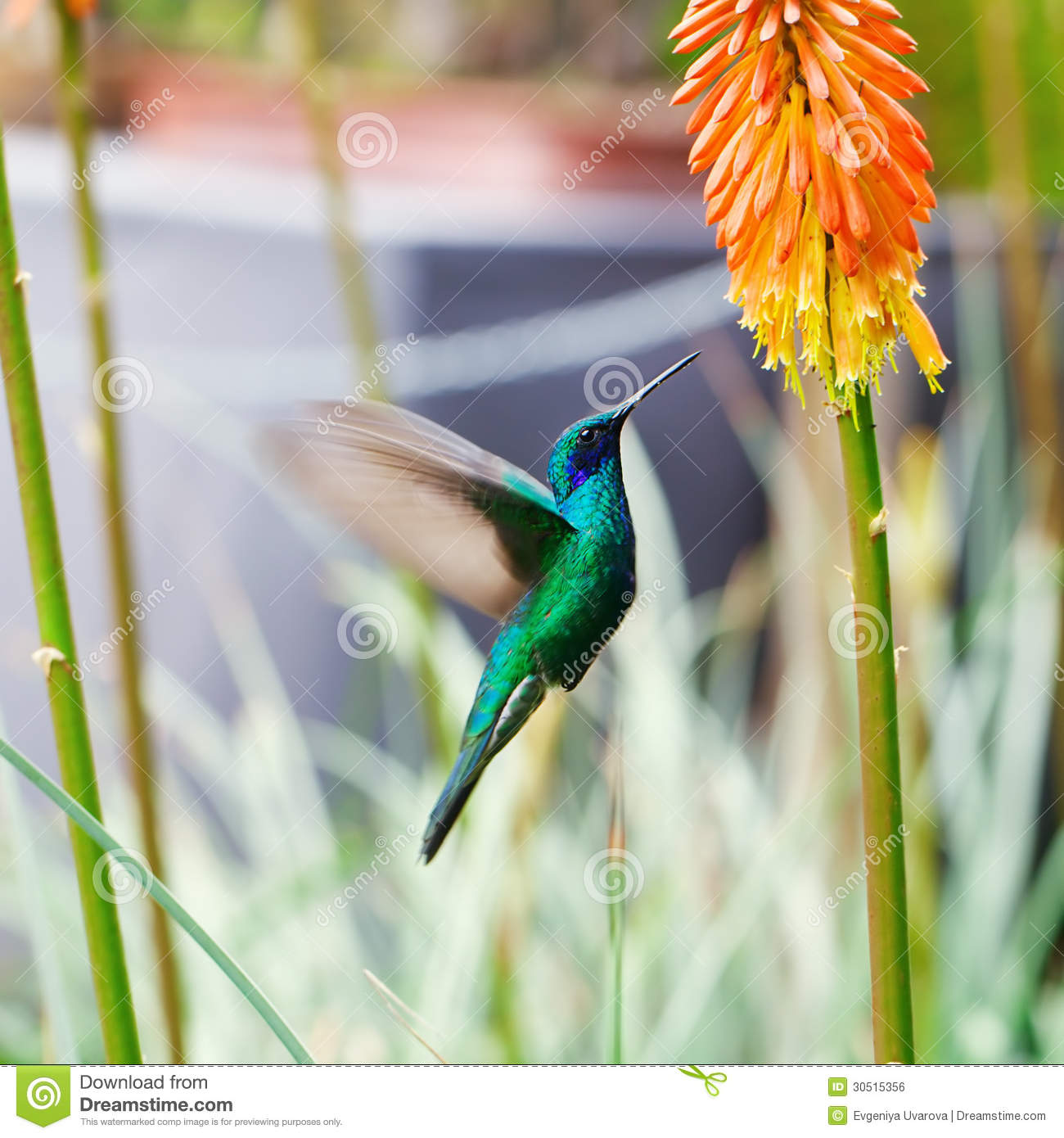 Blue green hummingbird flying over a tropical orange f