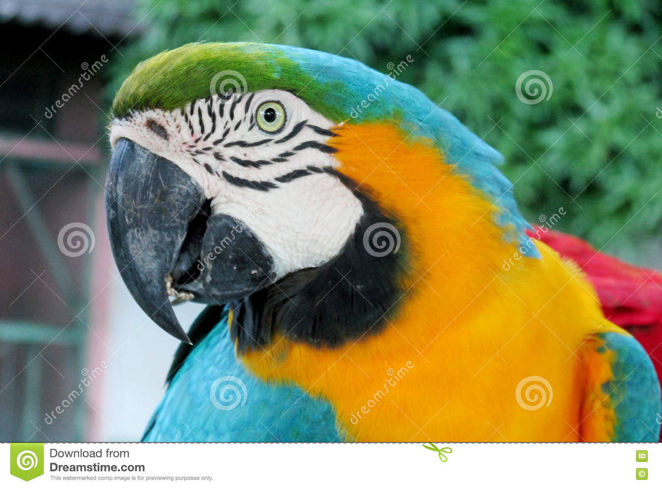 blue green and yellow feathers tropical parrot stock image image
