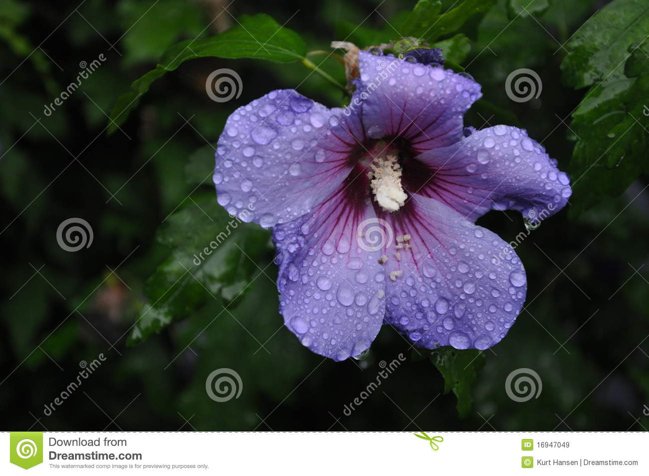 Blue Hawaiian Flower Royalty Free Stock Images