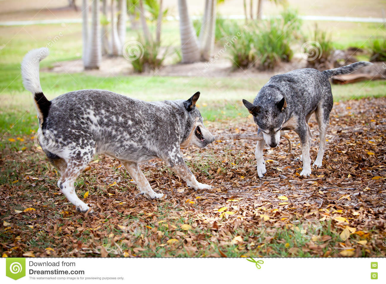 Blue Healer Dogs fight over stick