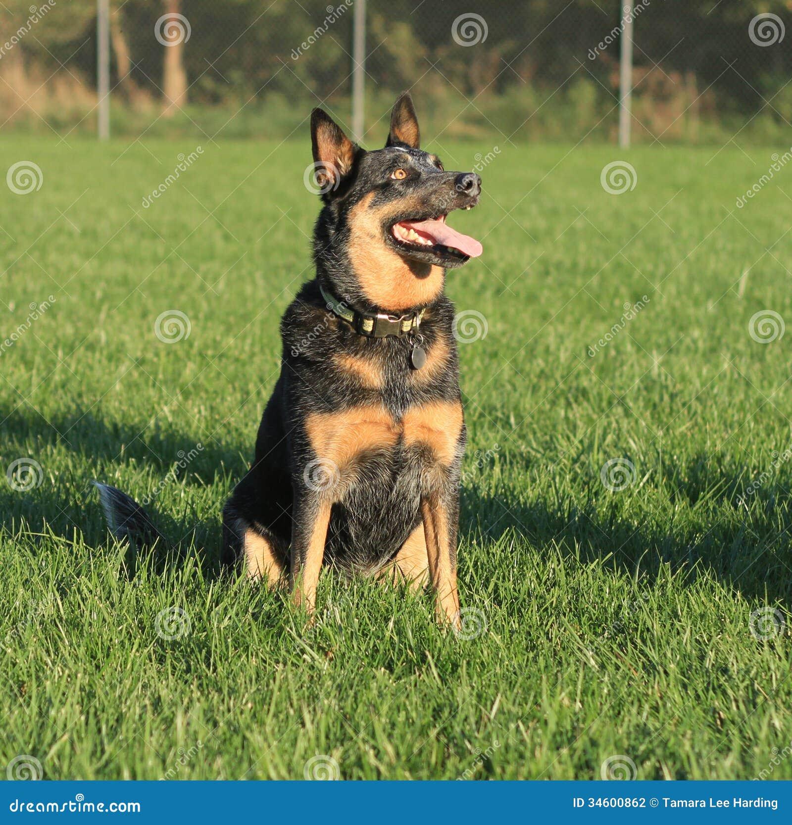 Blue Heeler Sitting Stock Photography - Image: 34600862