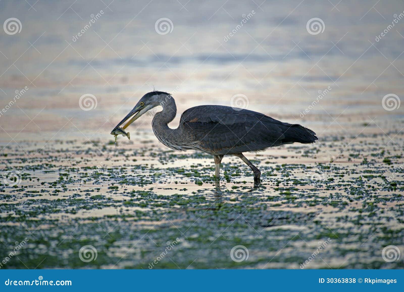 Blue heron fishing stock photo image of columbia pacific for British columbia fishing license