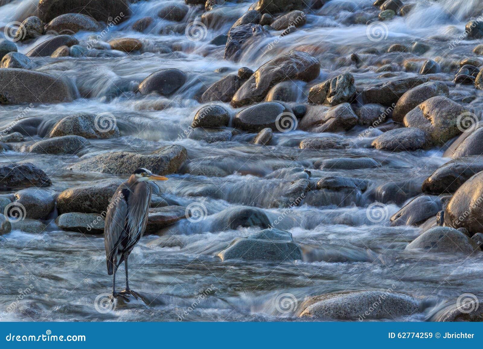 Blue heron washington state stock image image 62774259 for Washington state fishing