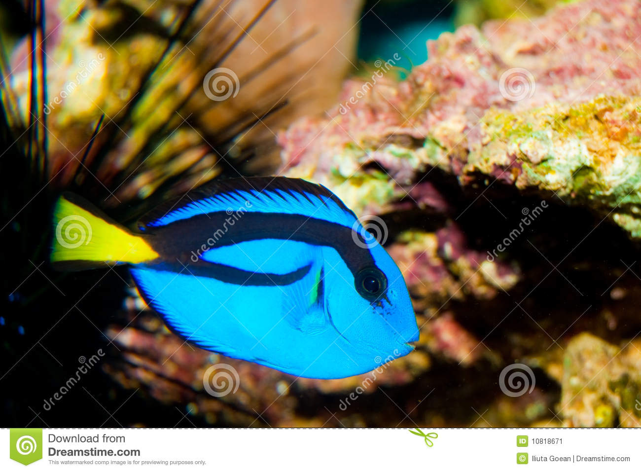 Blue hippo tang fish stock image image 10818671 for Blue tang fish price