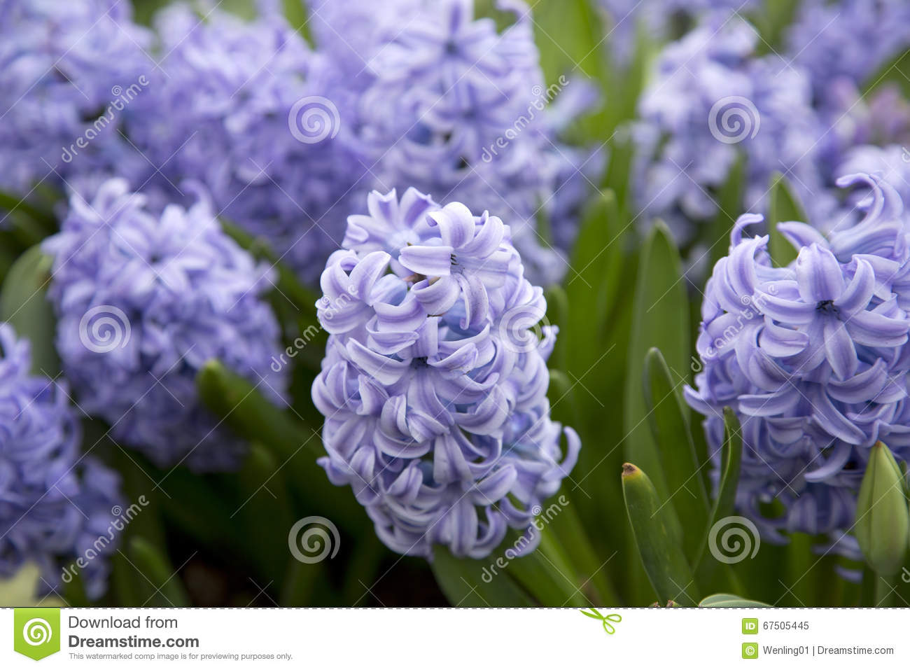 Blue hyacinth  growing in the garden
