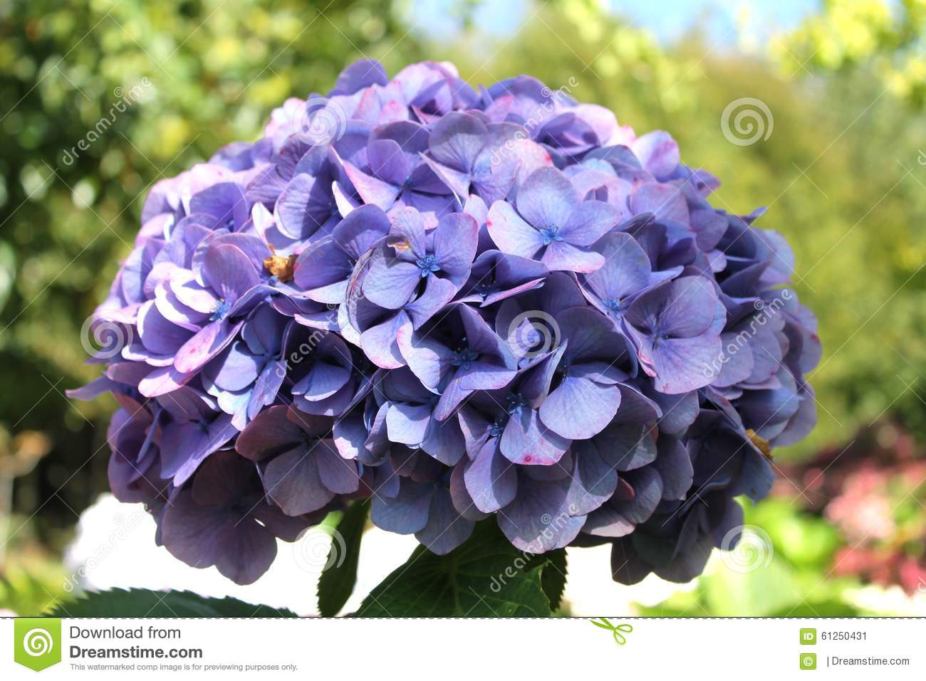 Blue Hydrangea Stock Image Image Of Color Hortensia 61250431 - Color-hortensia