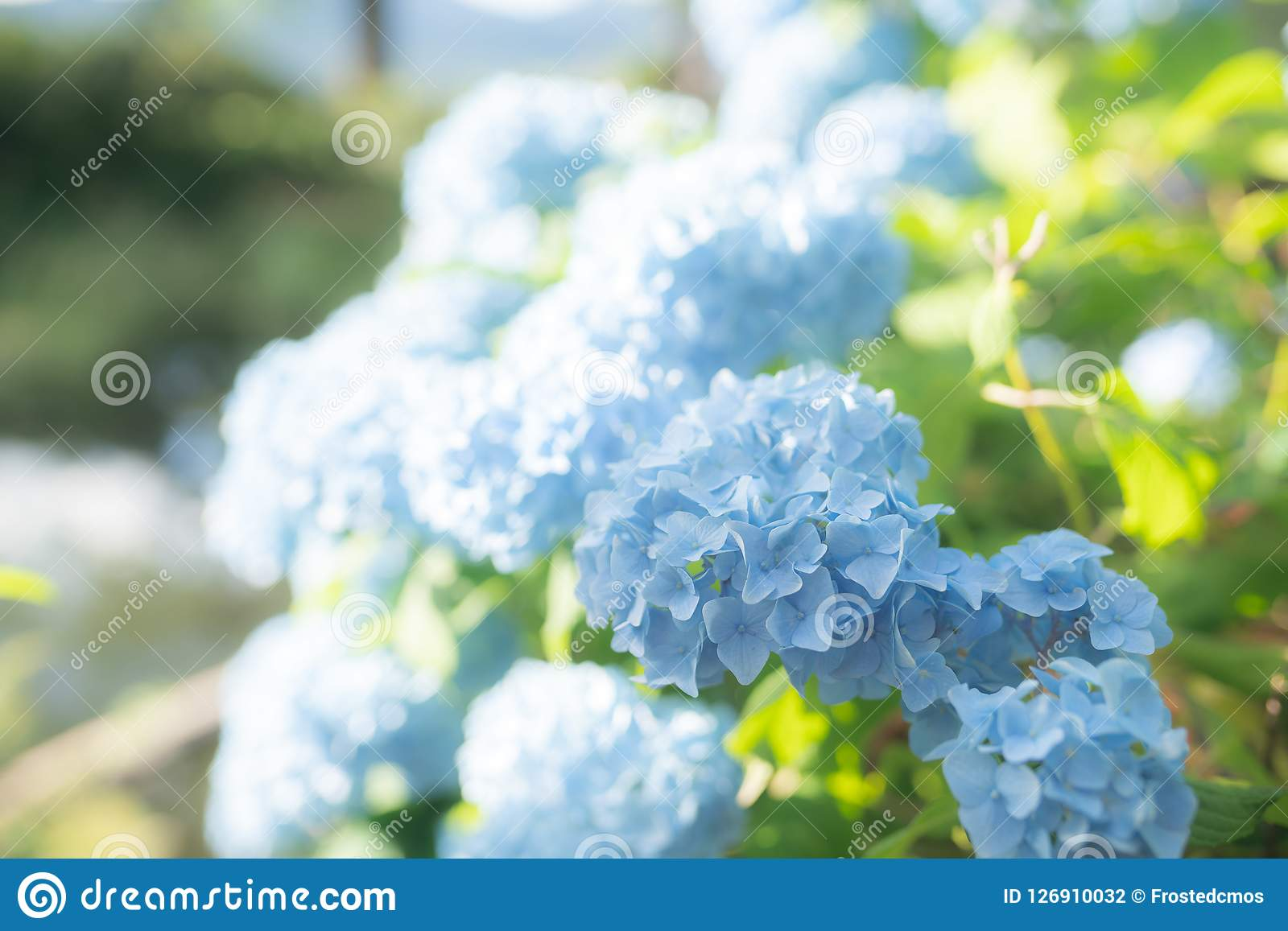 Blue hydrangea flower bush stock photo image of elegant 126910032 blue hydrangea flower bush izmirmasajfo