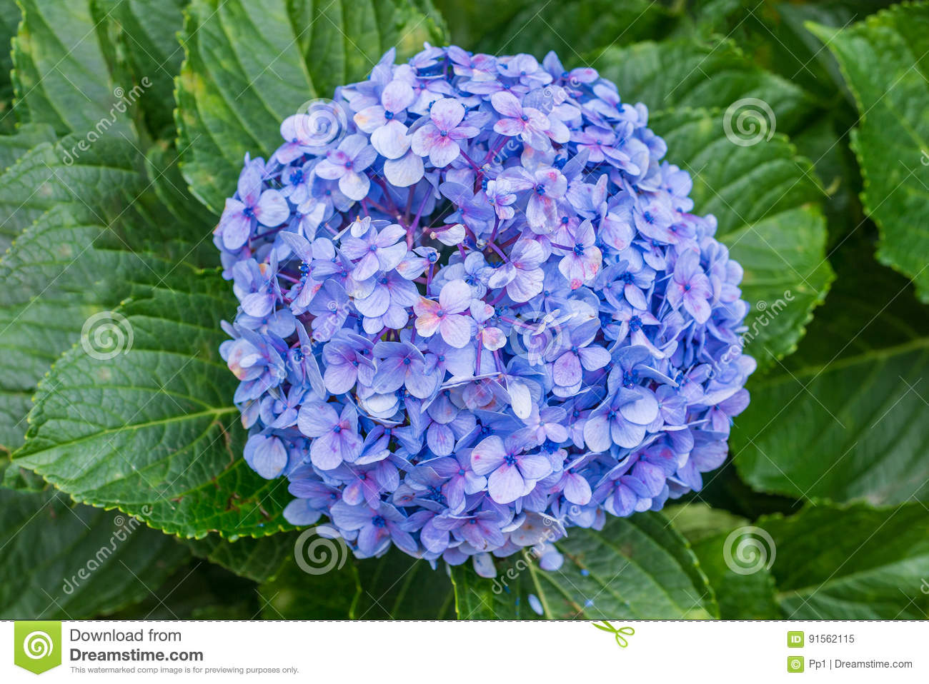 Blue Hydrangea Hortensia Flower Plant Detail Stock Image Image Of - Color-hortensia