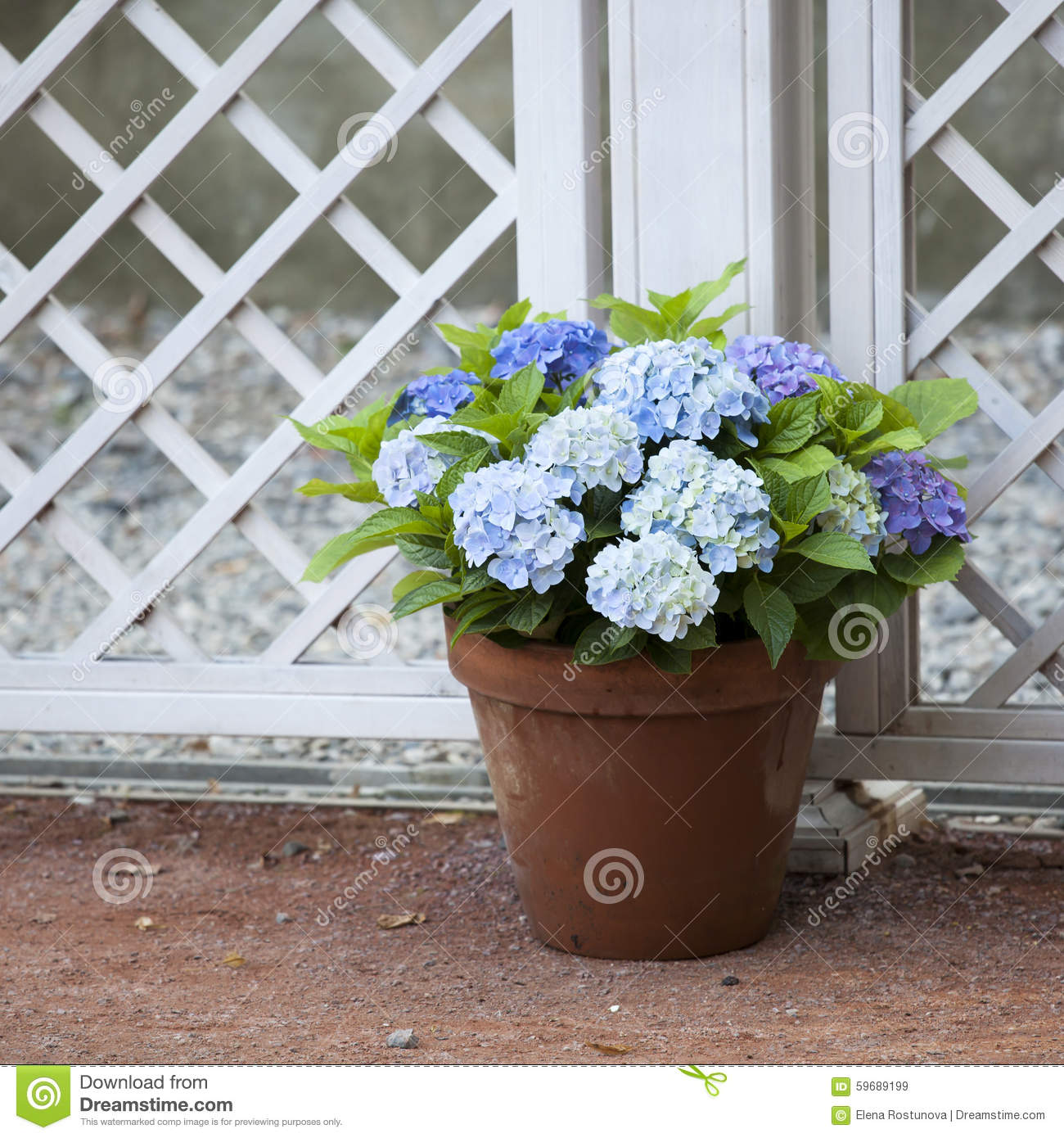 Blue hydrangea in the pot stock image. Image of flower - 59689199