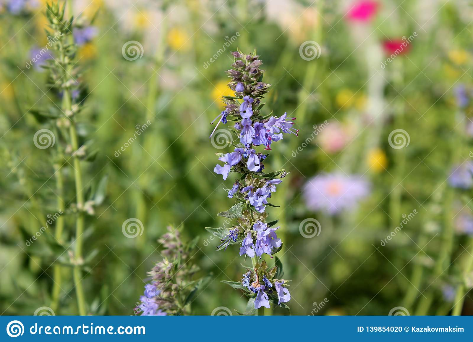 Blue hyssop or Hyssopus officinalis. Flowering plant