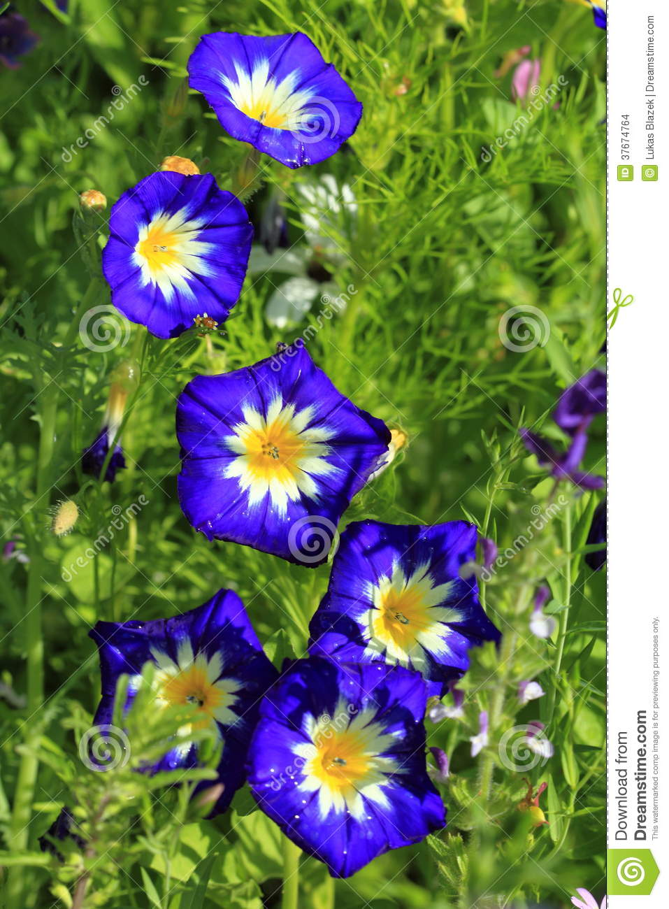 Blue Ipomea Flower Stock Photo Image Of Flower White 37674764