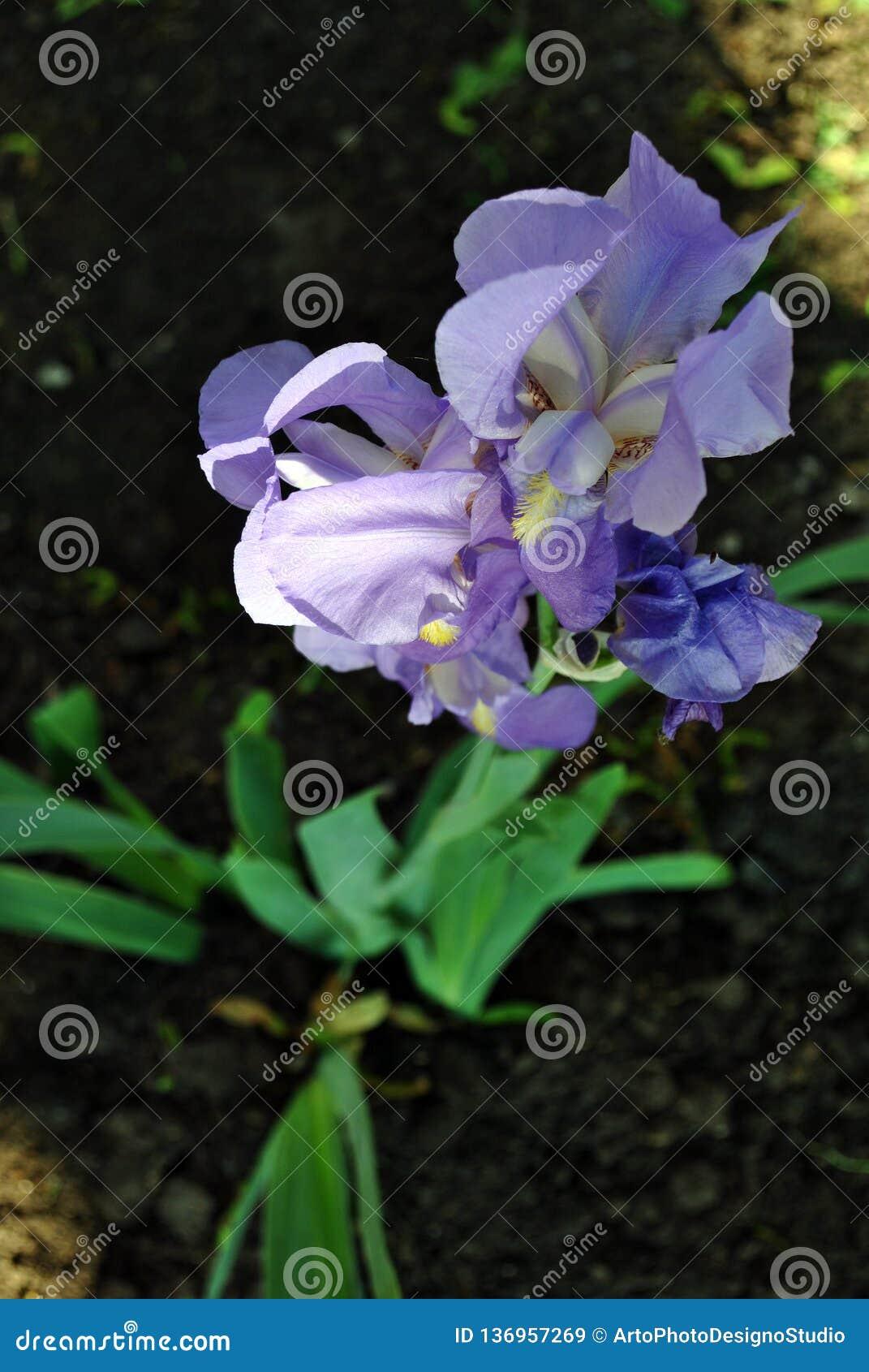 Blue iris flower blooming, blurry green leaves and dark soil