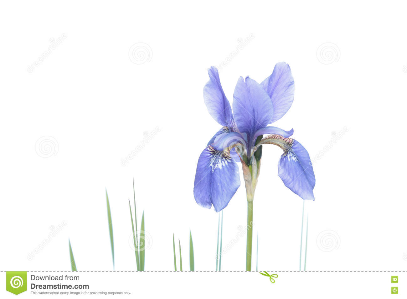 Blue iris isolated on white background siberian iris flower stock blue iris isolated on white background siberian iris flower garden botany izmirmasajfo Choice Image