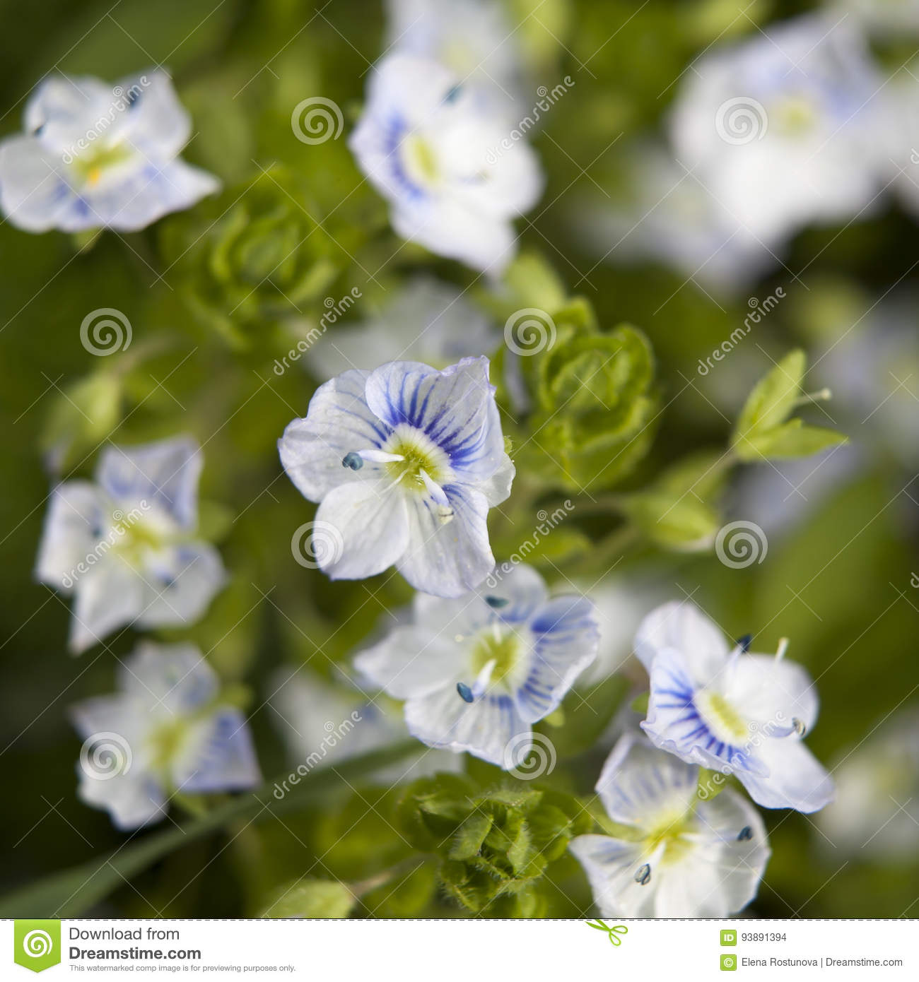The blue ivy leaved speedwell veronica hederifolia ssp hederifolia download the blue ivy leaved speedwell veronica hederifolia ssp hederifolia flowering plant stock photo image izmirmasajfo