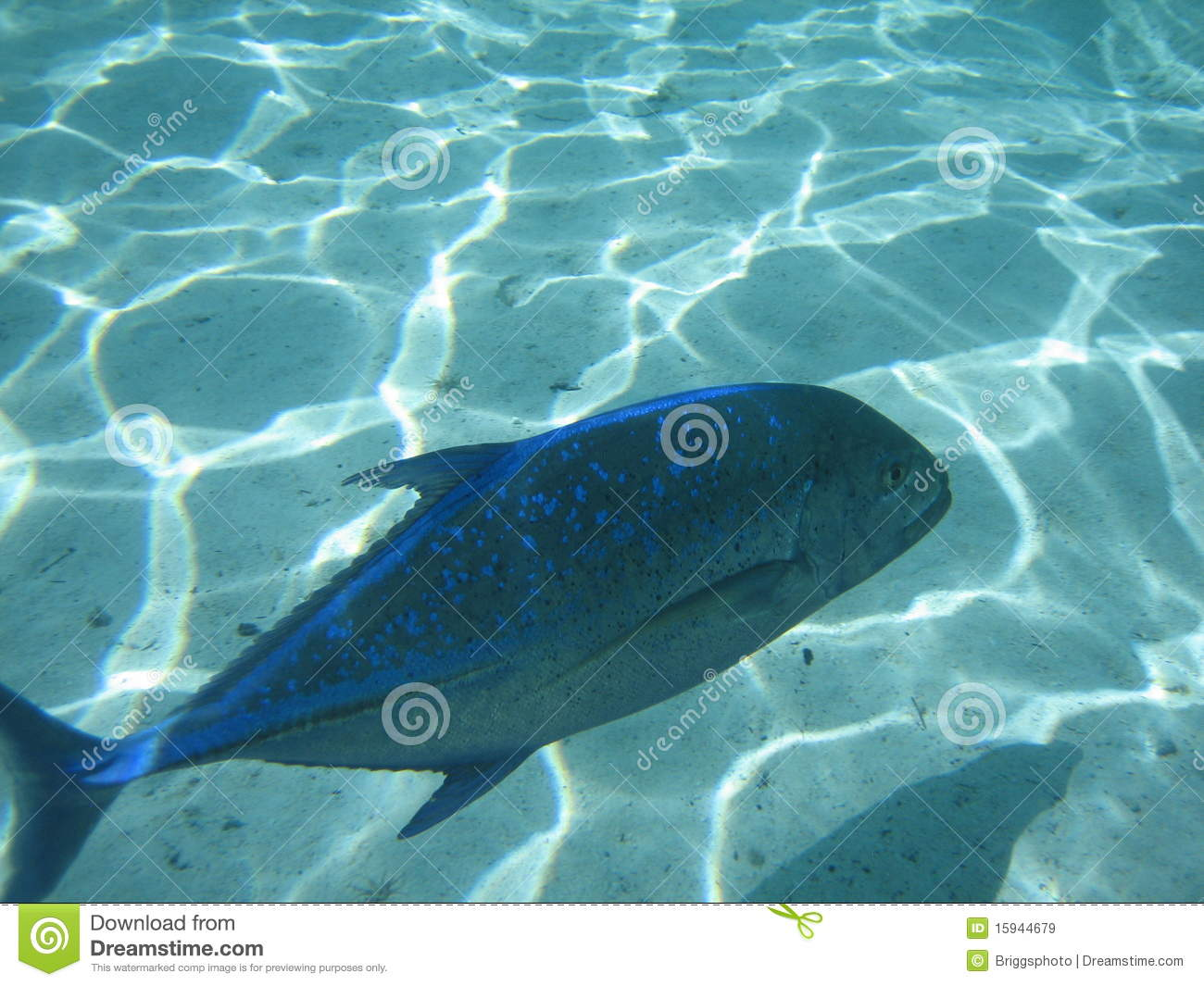 Blue jack fish royalty free stock images image 15944679 for What is a jack fish