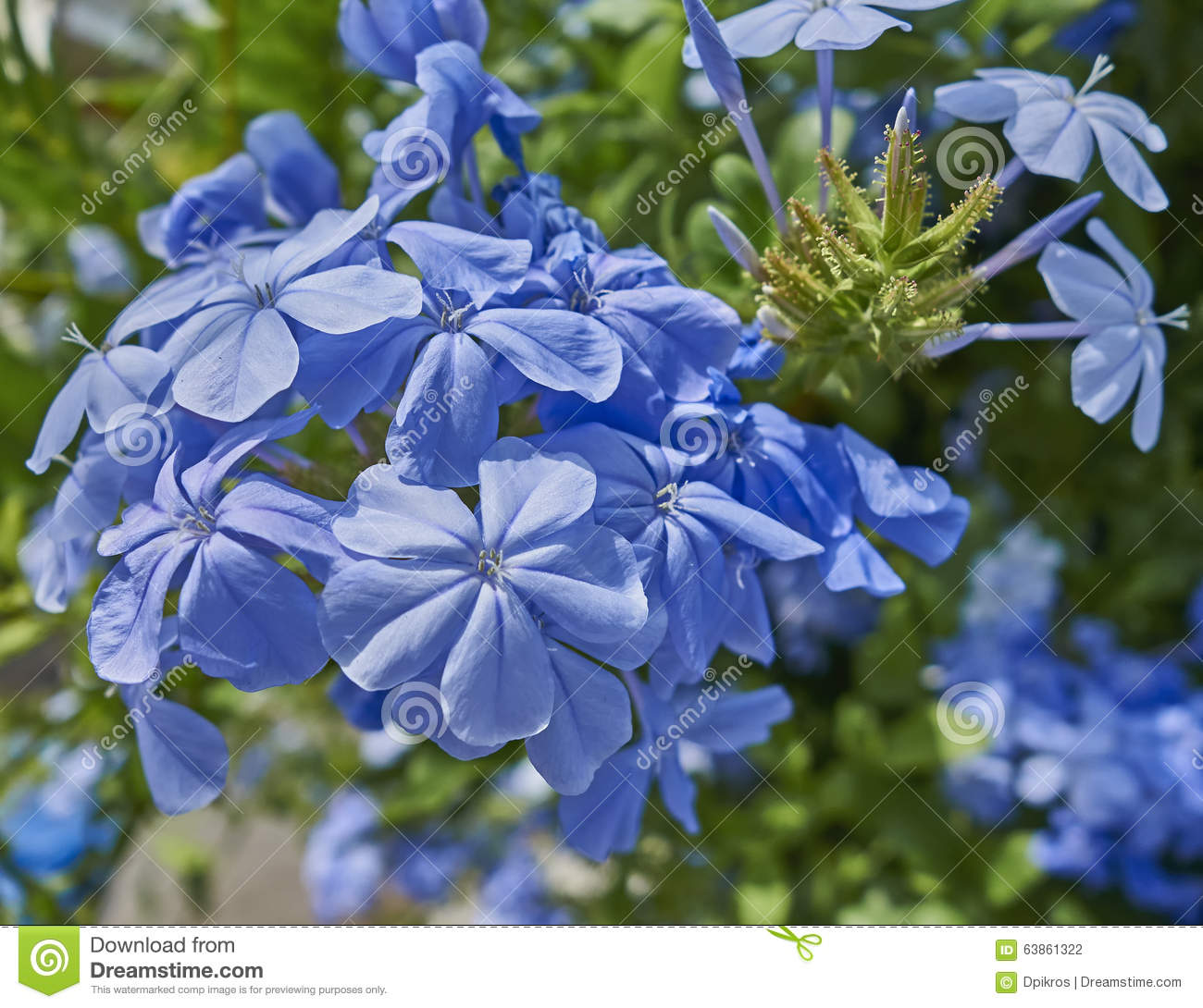 Blue Jasmine Flowers Natural Bouquet Stock Photo Image Of Bush