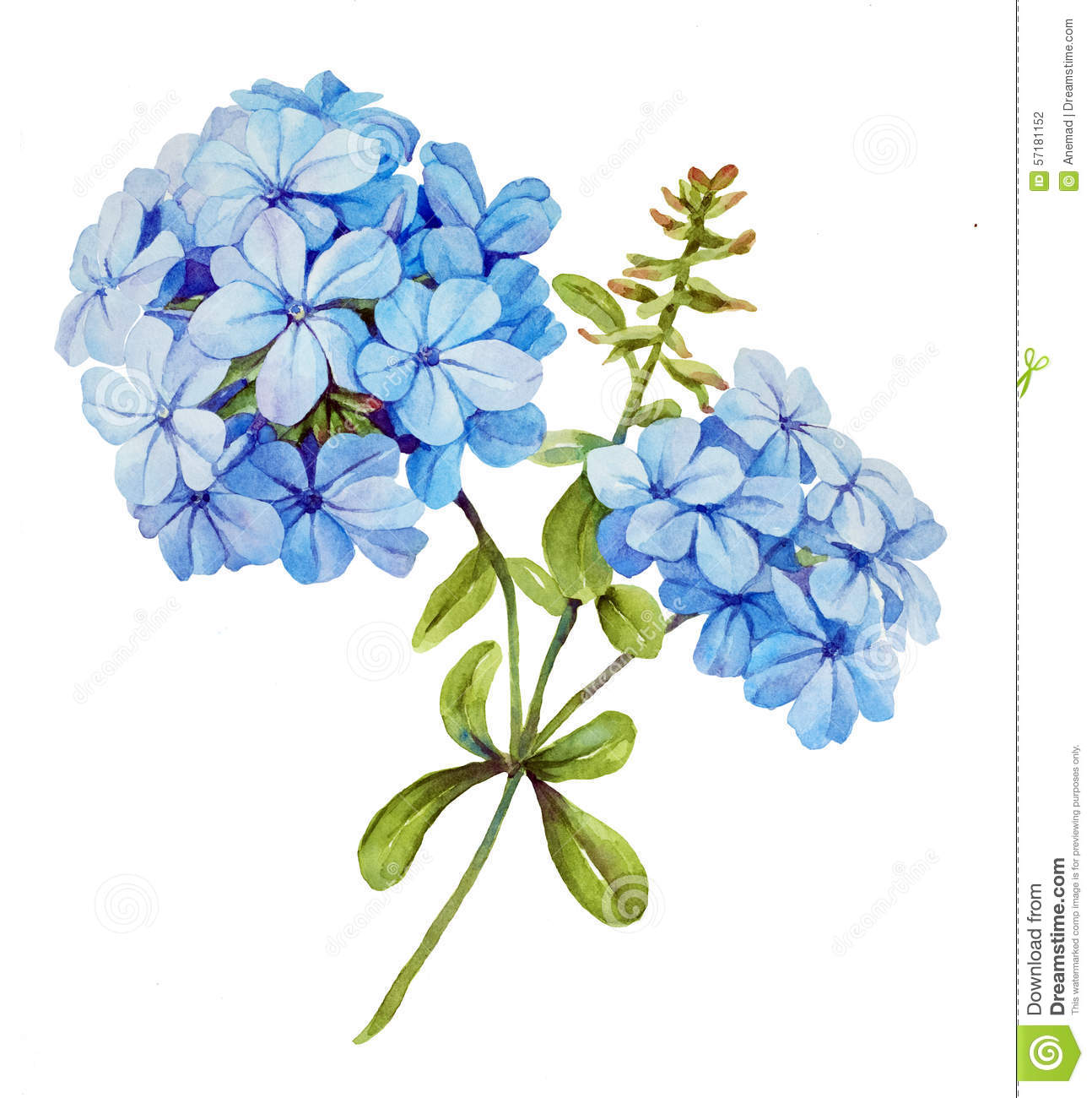 Blue Jasmine Watercolor Flower Stock Illustration - Image: 57181152