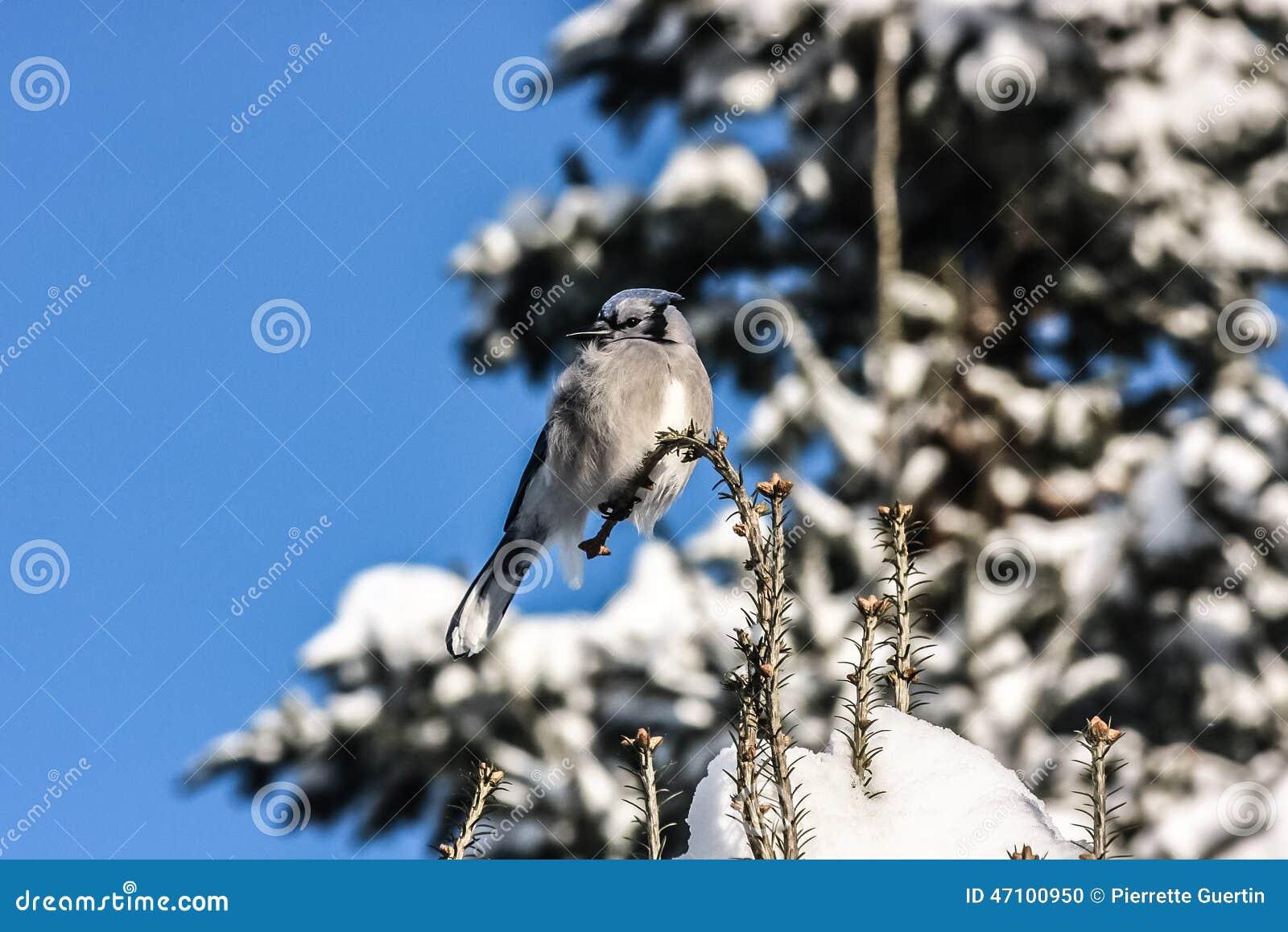 Blue Jay, das auf einem Glied sitzt
