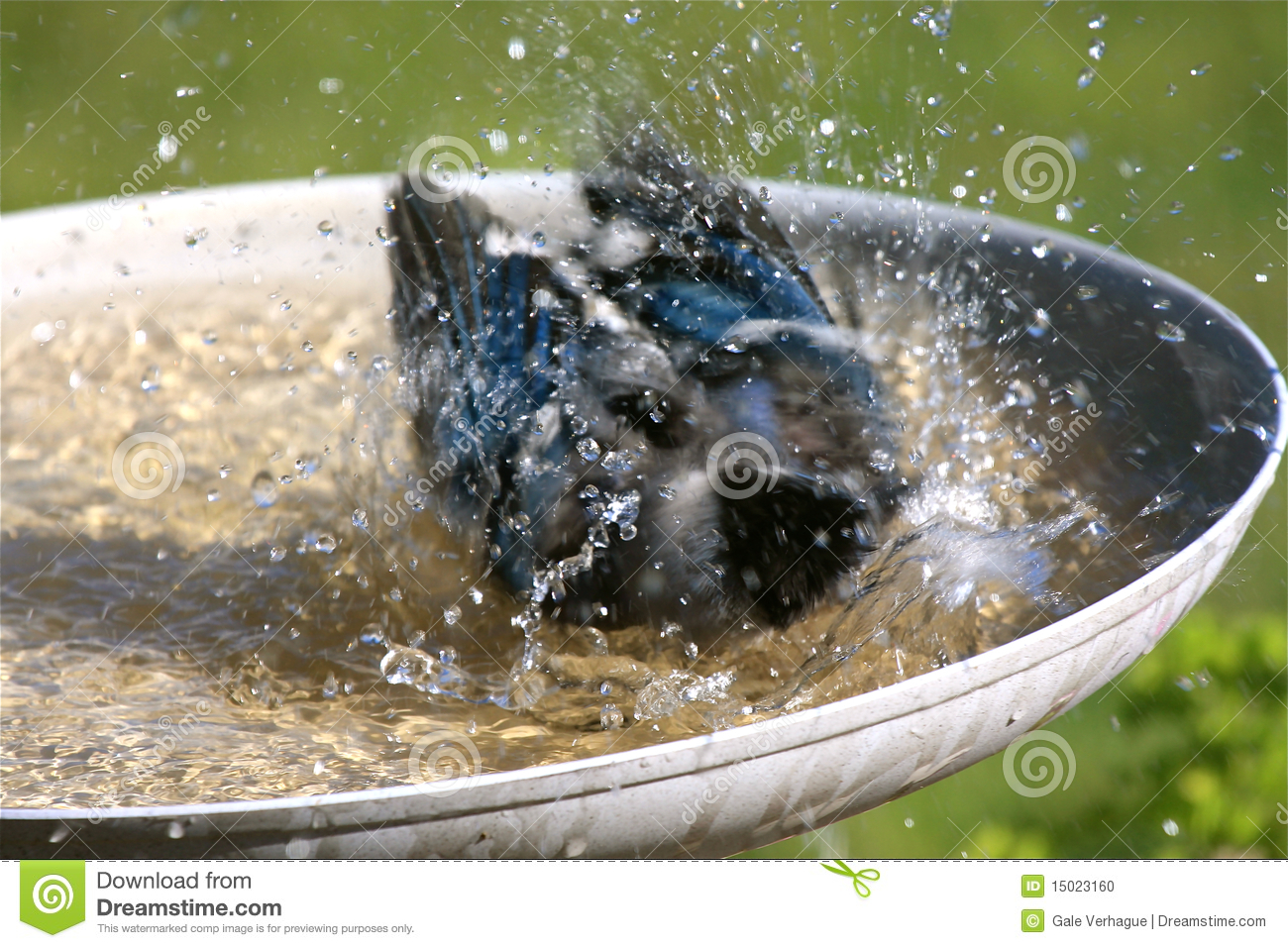 Blue Jay Taking a Bird Bath