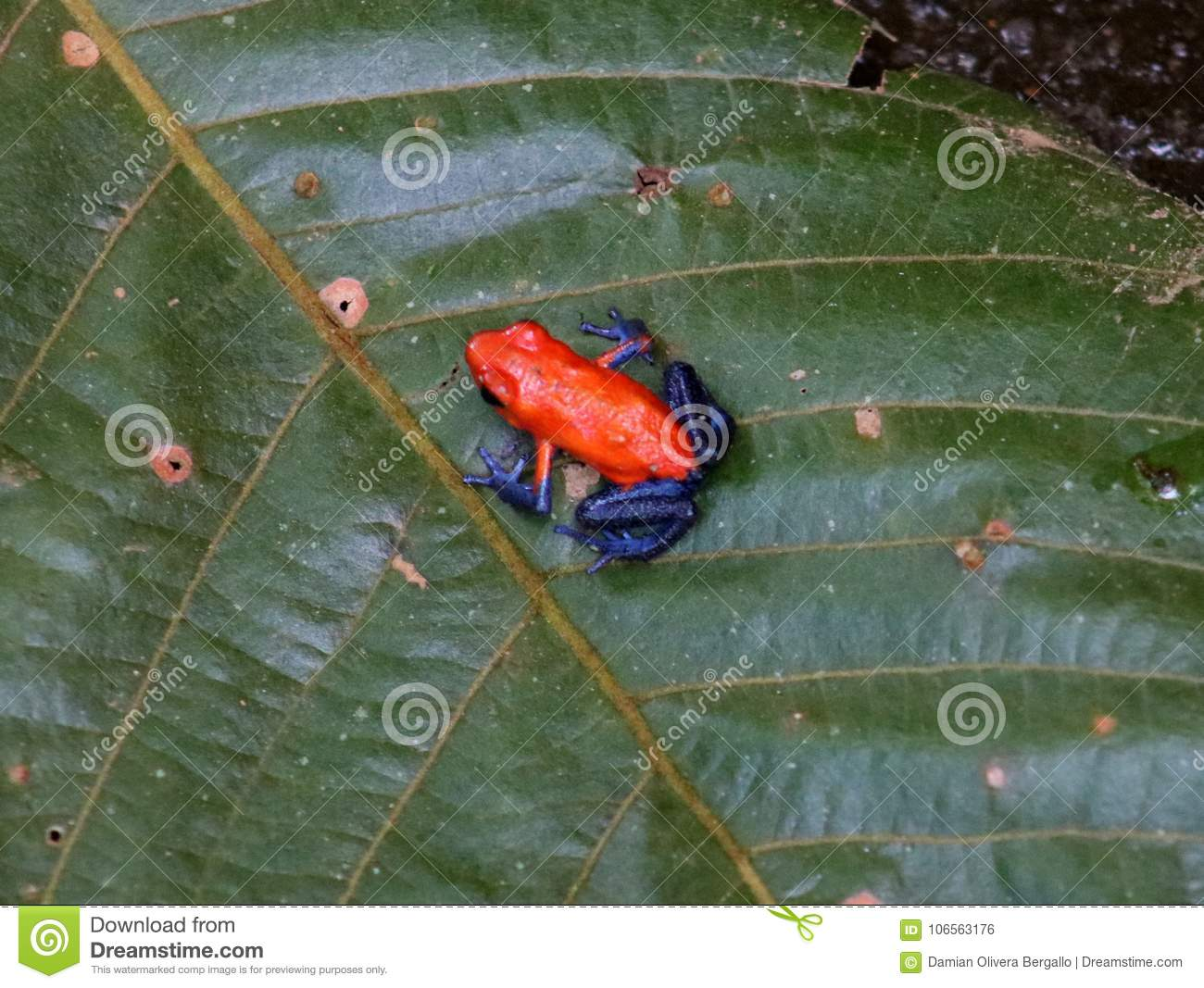 Blue jeans dart frog red Costa Rican frog