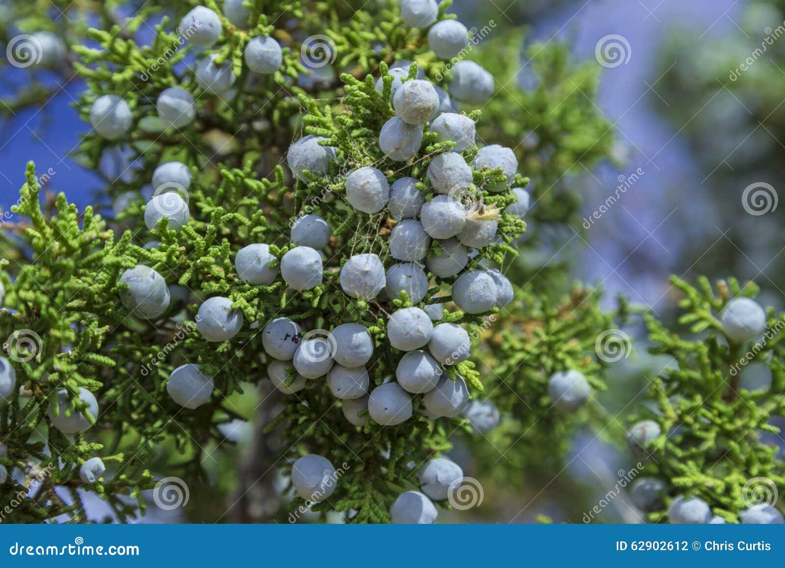 Blue Juniper Berries