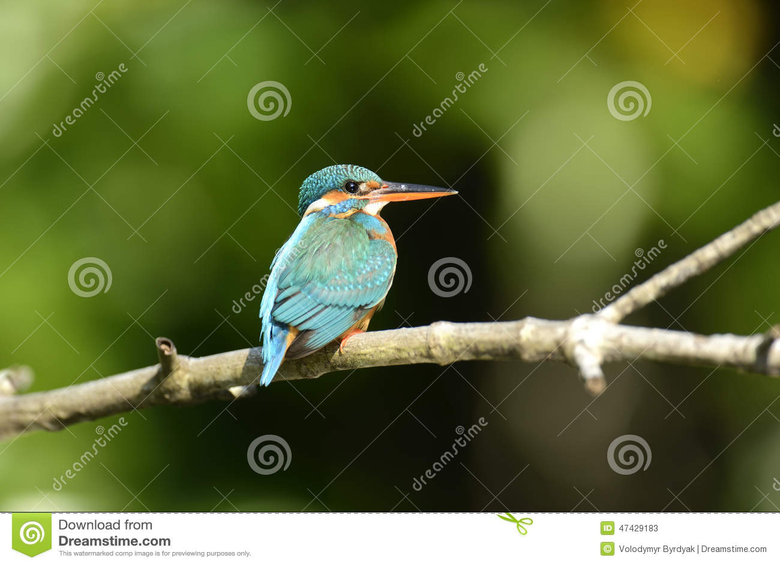 Blue Kingfisher Bird Stock Photo