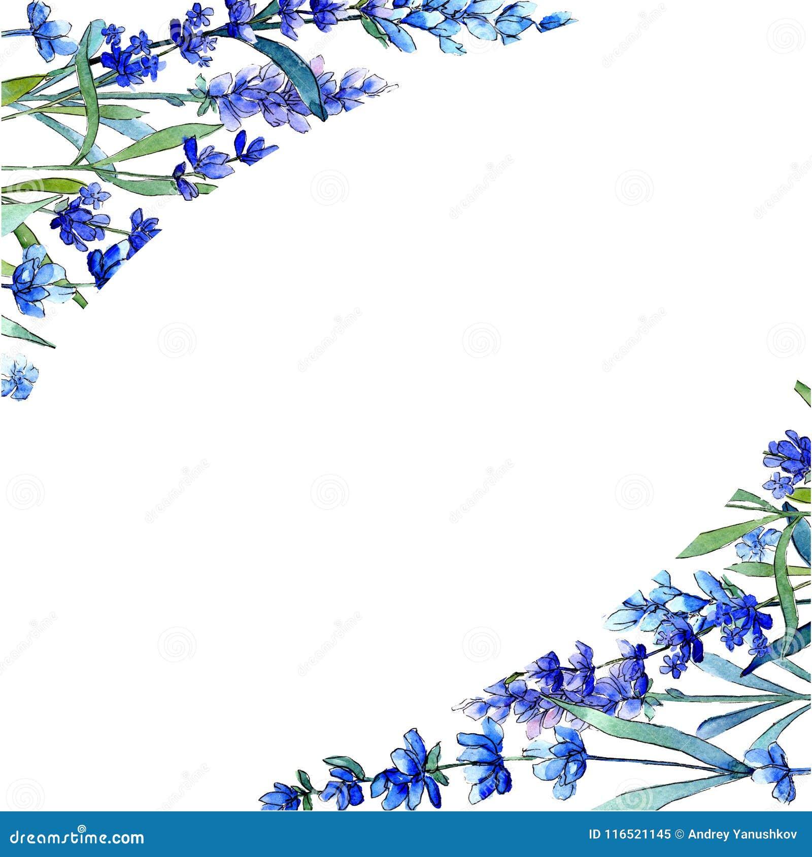 Blue lavender. Floral botanical flower. Wild spring leaf wildflower frame in a watercolor style.