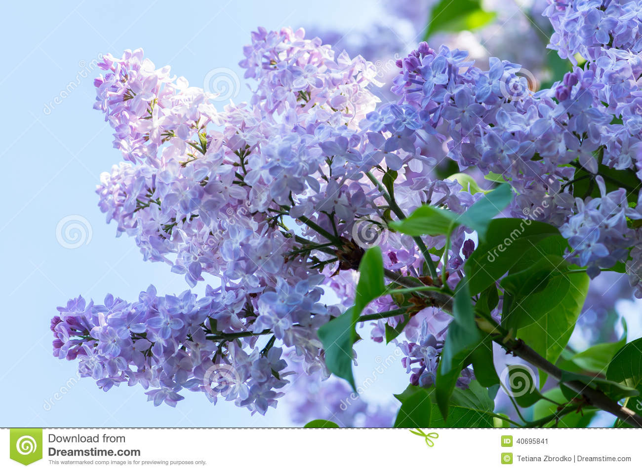 Blue Lilac Flowers Stock Image Image Of Flowers Petal