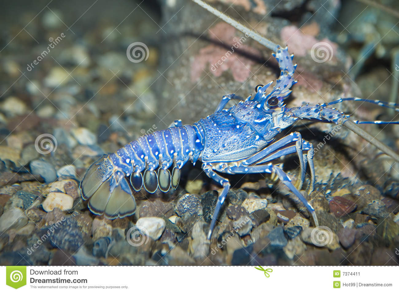 Blue lobster stock image. Image of feeding, colorful, night - 7374411