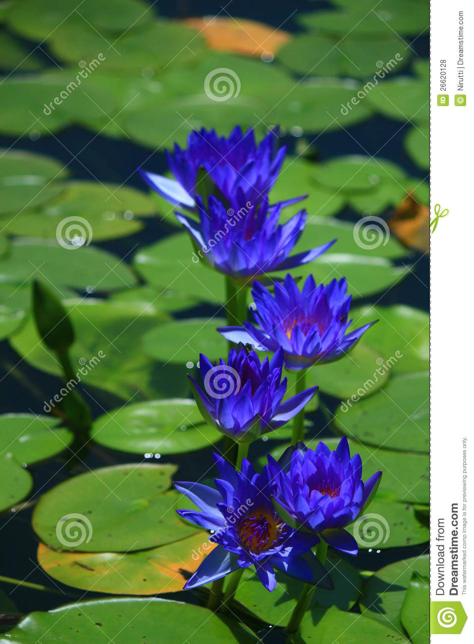 Blue Lotus Stock Photo Image Of Beautiful Higher Trees 26620128