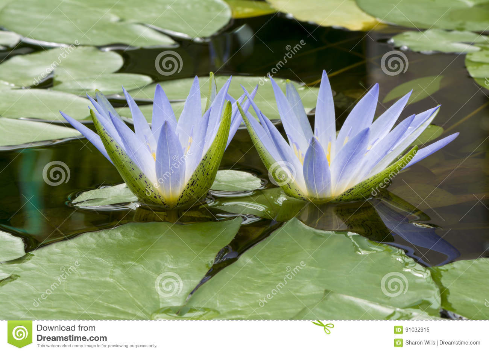 Blue lotus of egypt nymphaea caerulea waterlilies stock image blue lotus of egypt nymphaea caerulea waterlilies izmirmasajfo