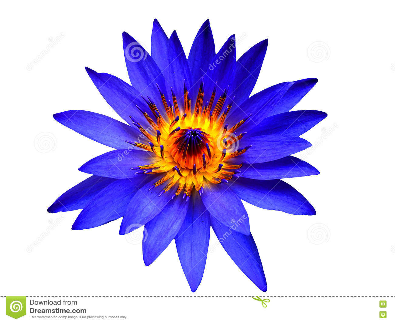 Blue lotus flower bloom on isolated stock photo image 79773470 blue lotus flower bloom on isolated dhlflorist Images