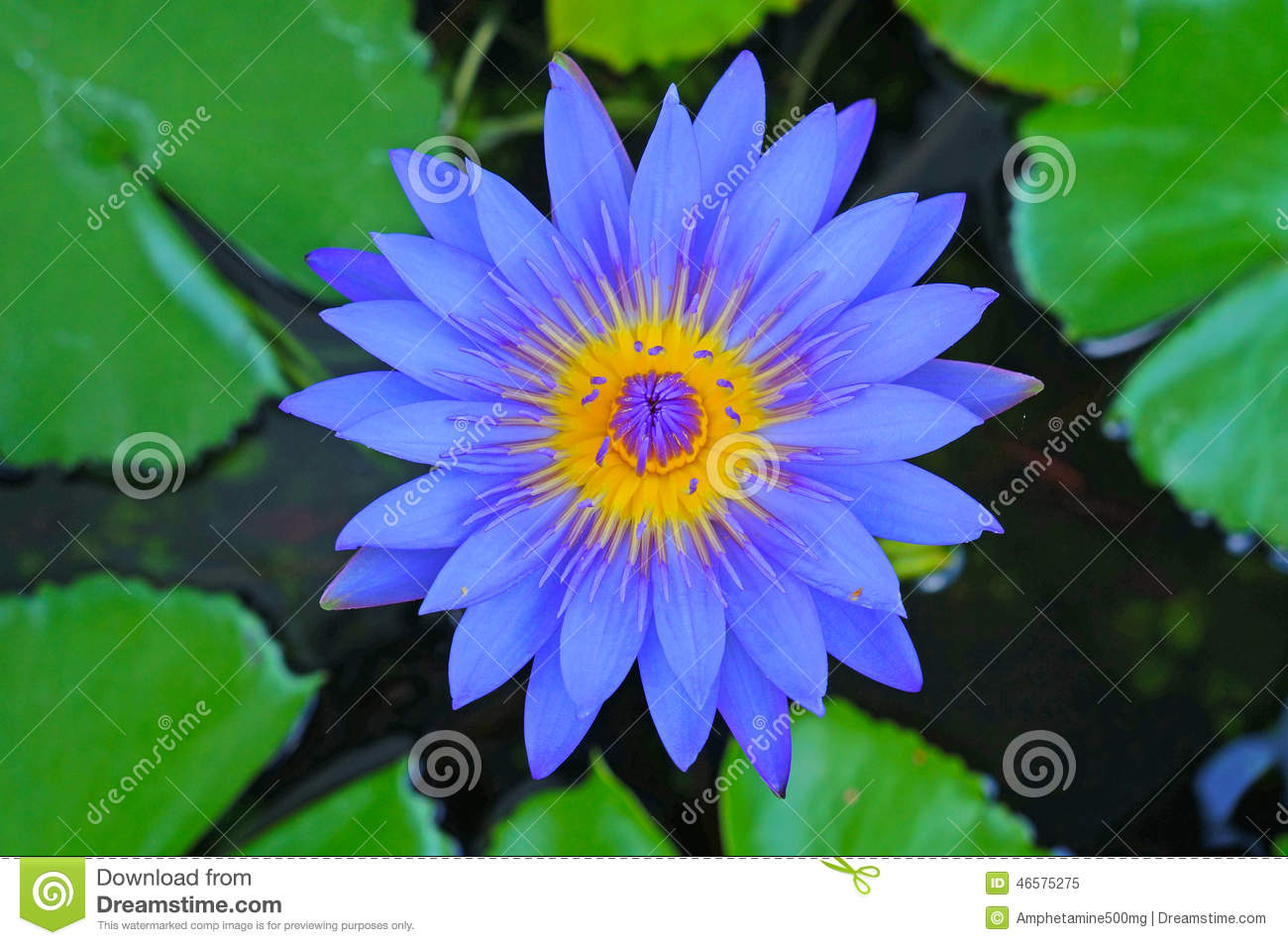 the blue lotus stock photo  image, Beautiful flower