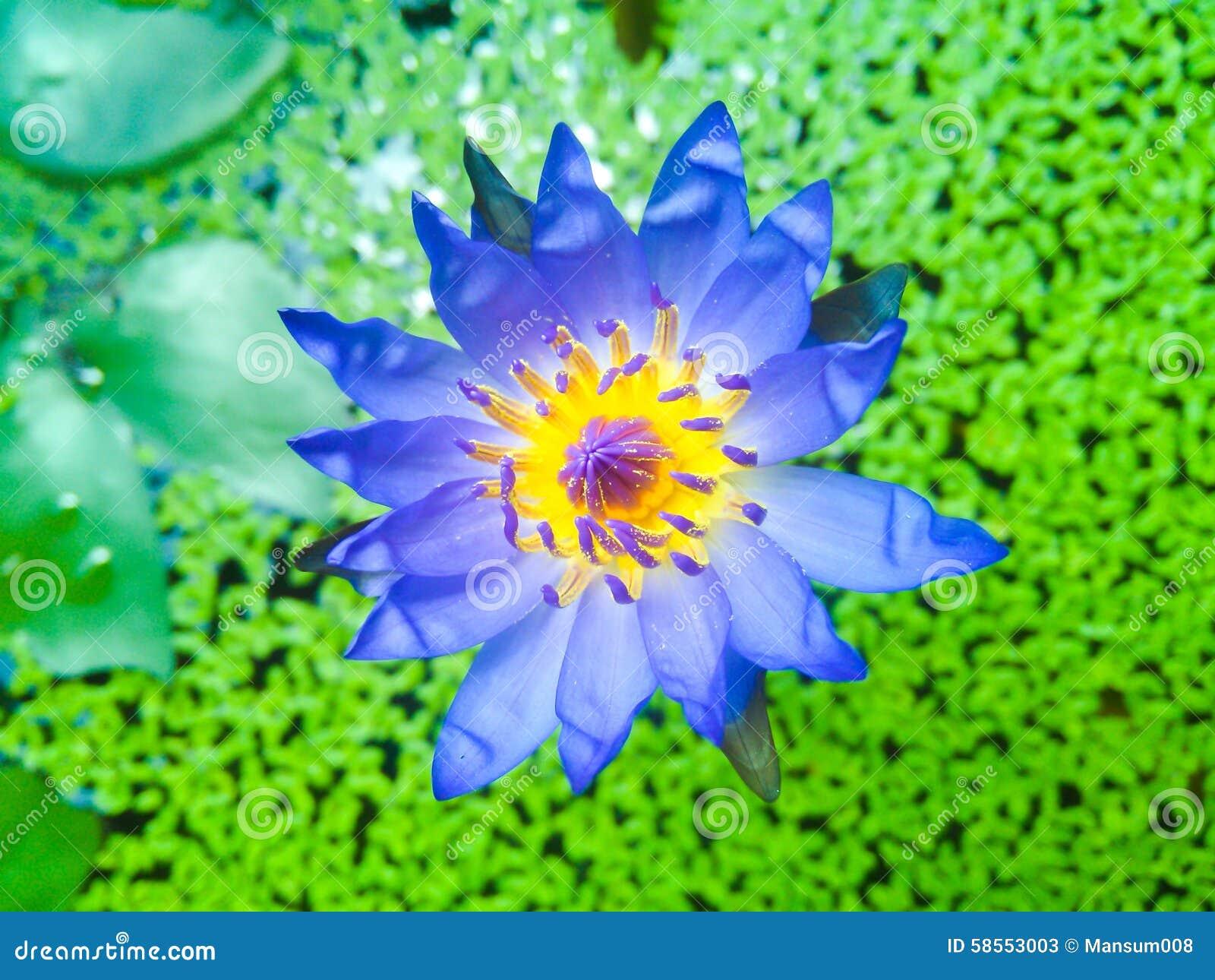 Blue Lotus Flower Stock Image