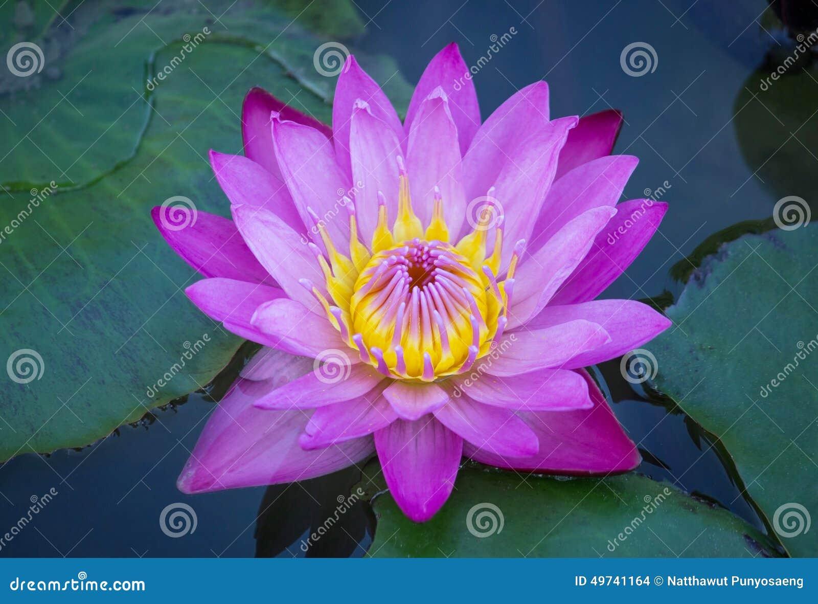 Blue lotus flower stock photo 49741164 megapixl blue lotus flower izmirmasajfo