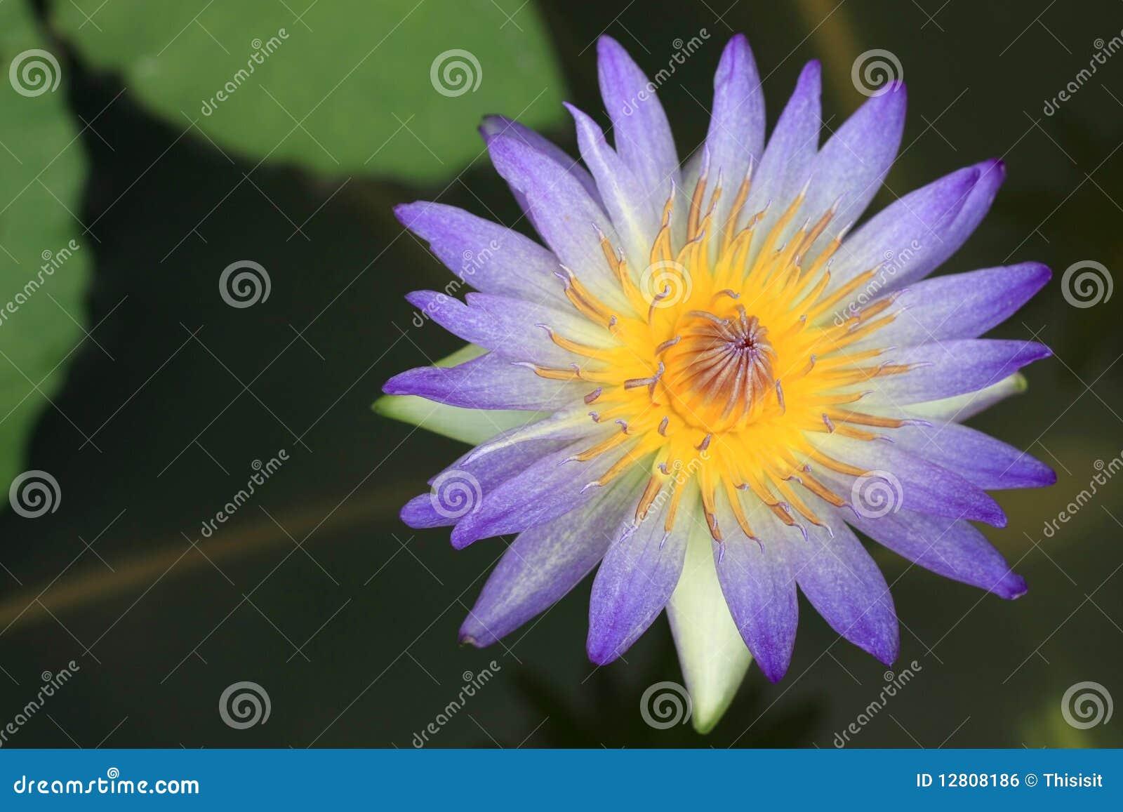 Blue Lotus Flowers Royalty Free Stock Image Image