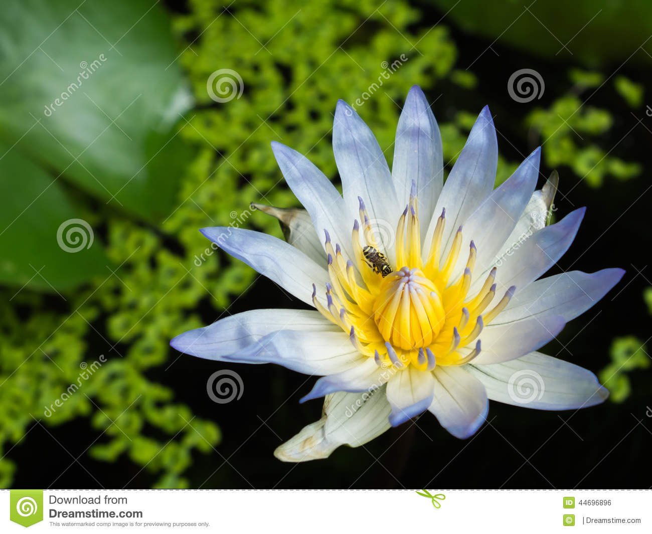 Lotus Bluelotus Flower Stock Photography Cartoondealer