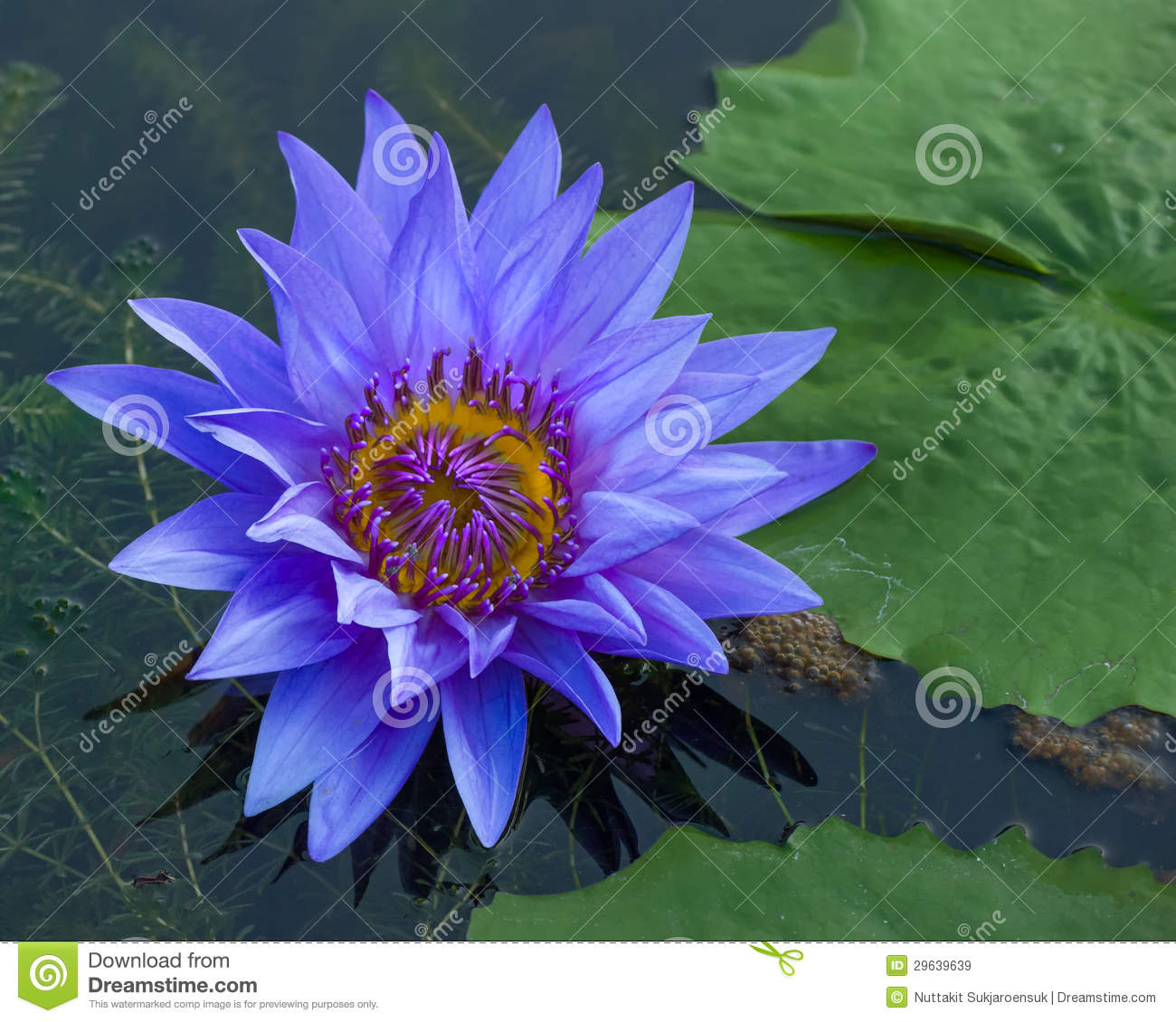 Blue lotus petals and purple pollen royalty free stock images royalty free stock photo download blue lotus dhlflorist Images