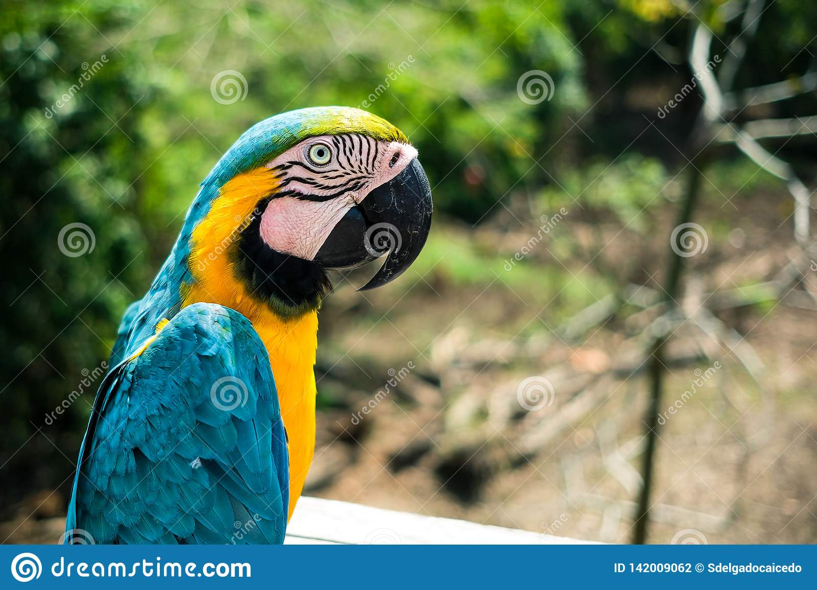A blue macaw poses for the camera in the brazilian amazon