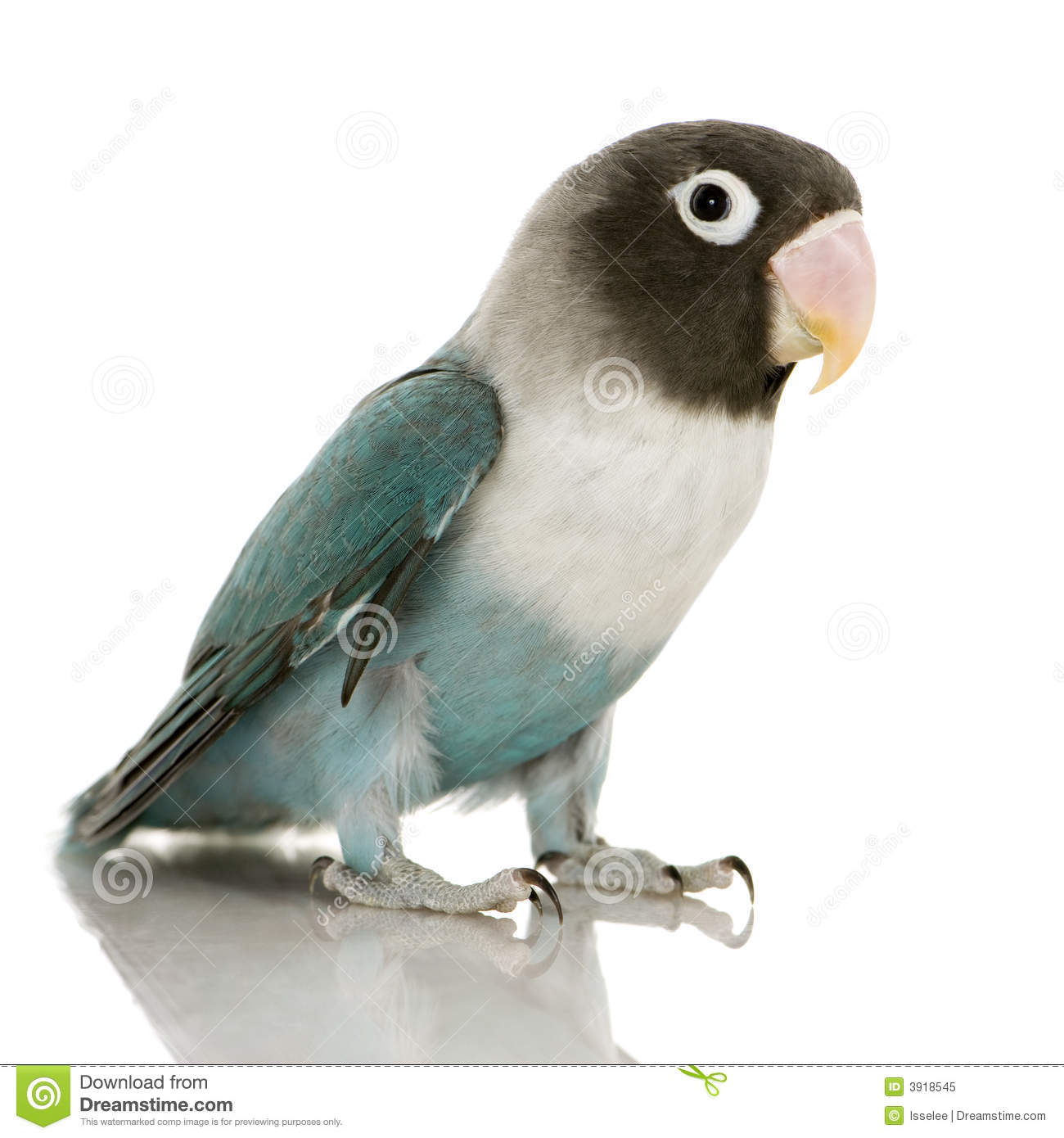 Royalty Free Stock Photo: Blue Masked Lovebird - Agapornis personata