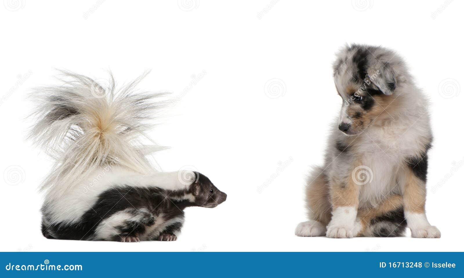 Blue Merle Australian Shepherd Puppy Stock Photo - Image of animal