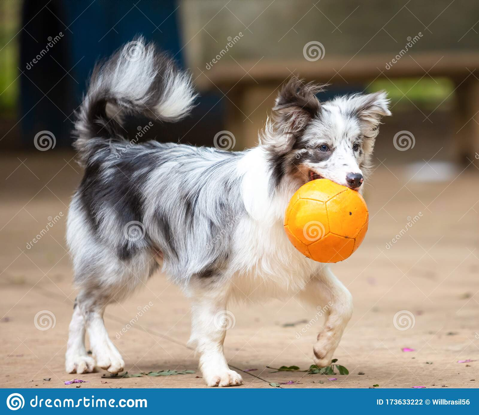 Blue Merle Border Collie Puppy Playing With A Ball In Its Mouth Stock Photo Image Of Face Adorable 173633222