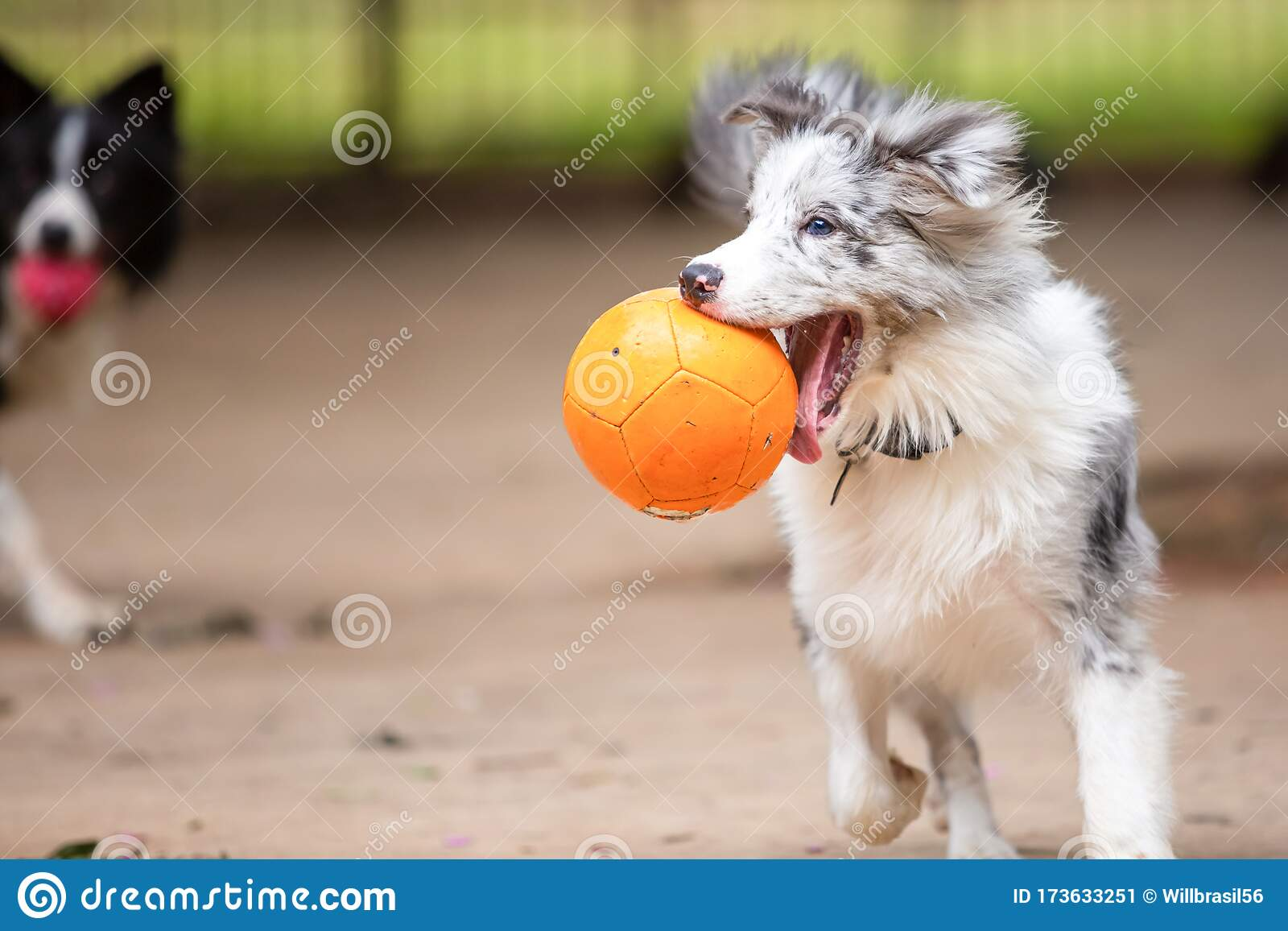 Blue Merle Border Collie Puppy Playing With A Ball In Its Mouth Stock Image Image Of Healthy Friend 173633251