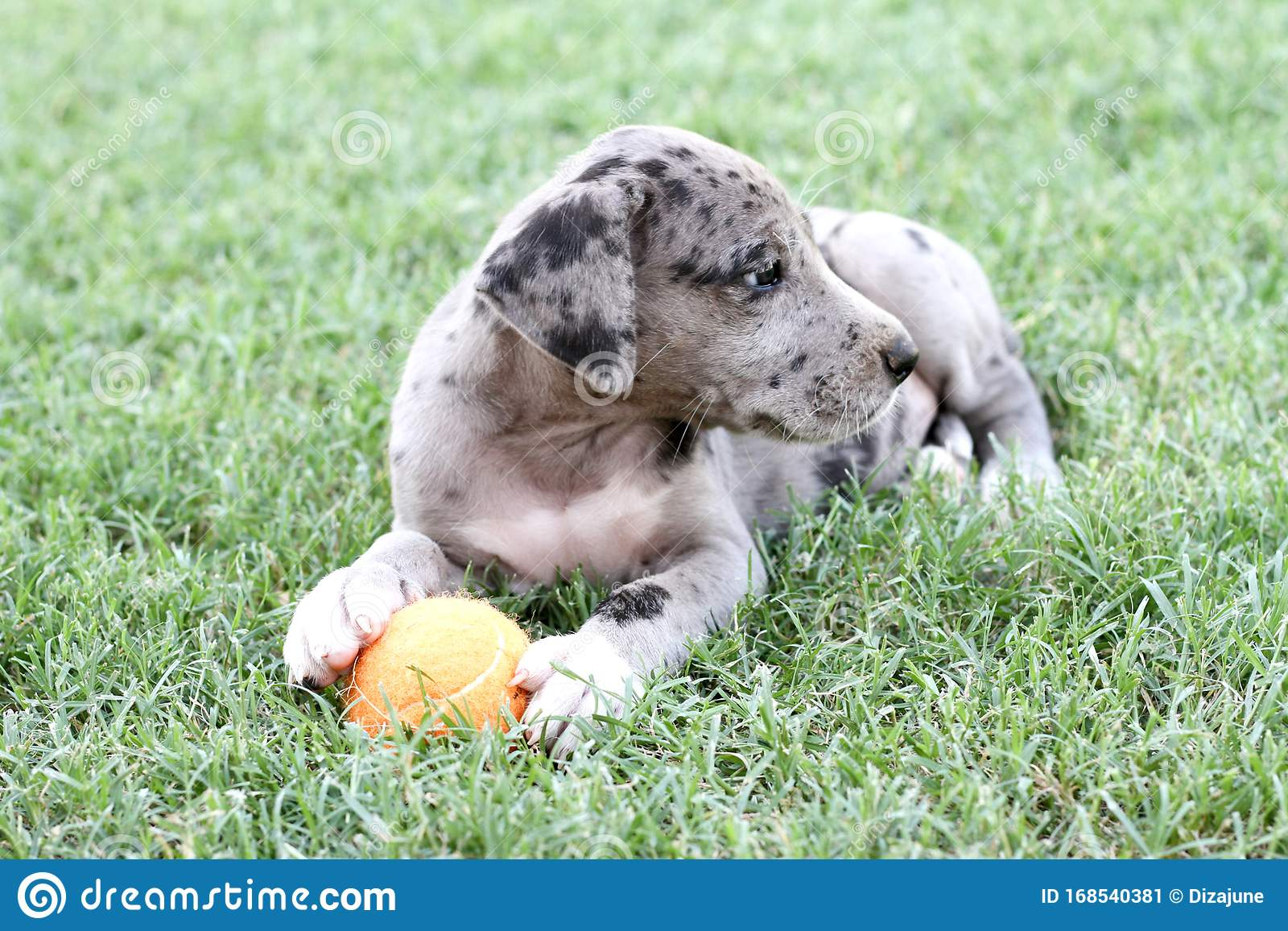 Blue Merle Great Dane Puppy With Orange Ball Stock Image Image Of Great Paws 168540381