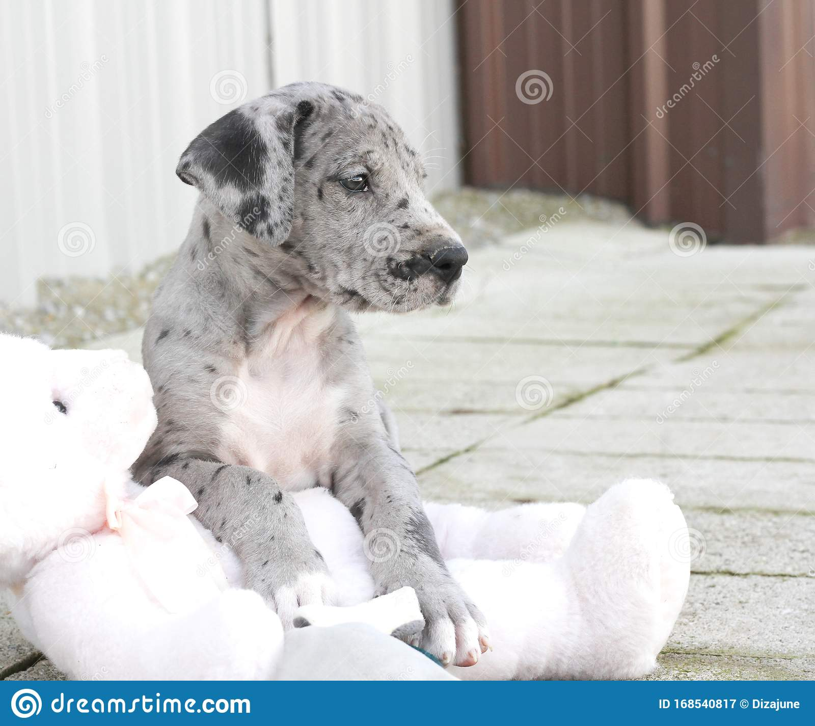 Blue Merle Great Dane Puppy Laying On Pink Stuffed Bear Stock Image Image Of Playful Pink 168540817
