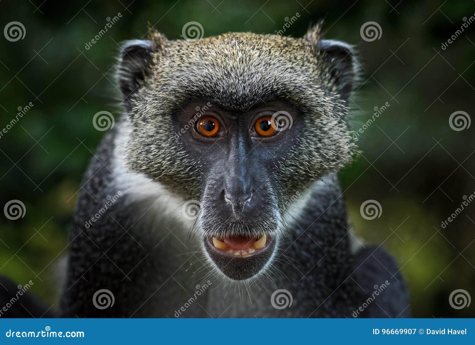 Blue Monkey - Cercopithecus mitis, Kenya, Africa