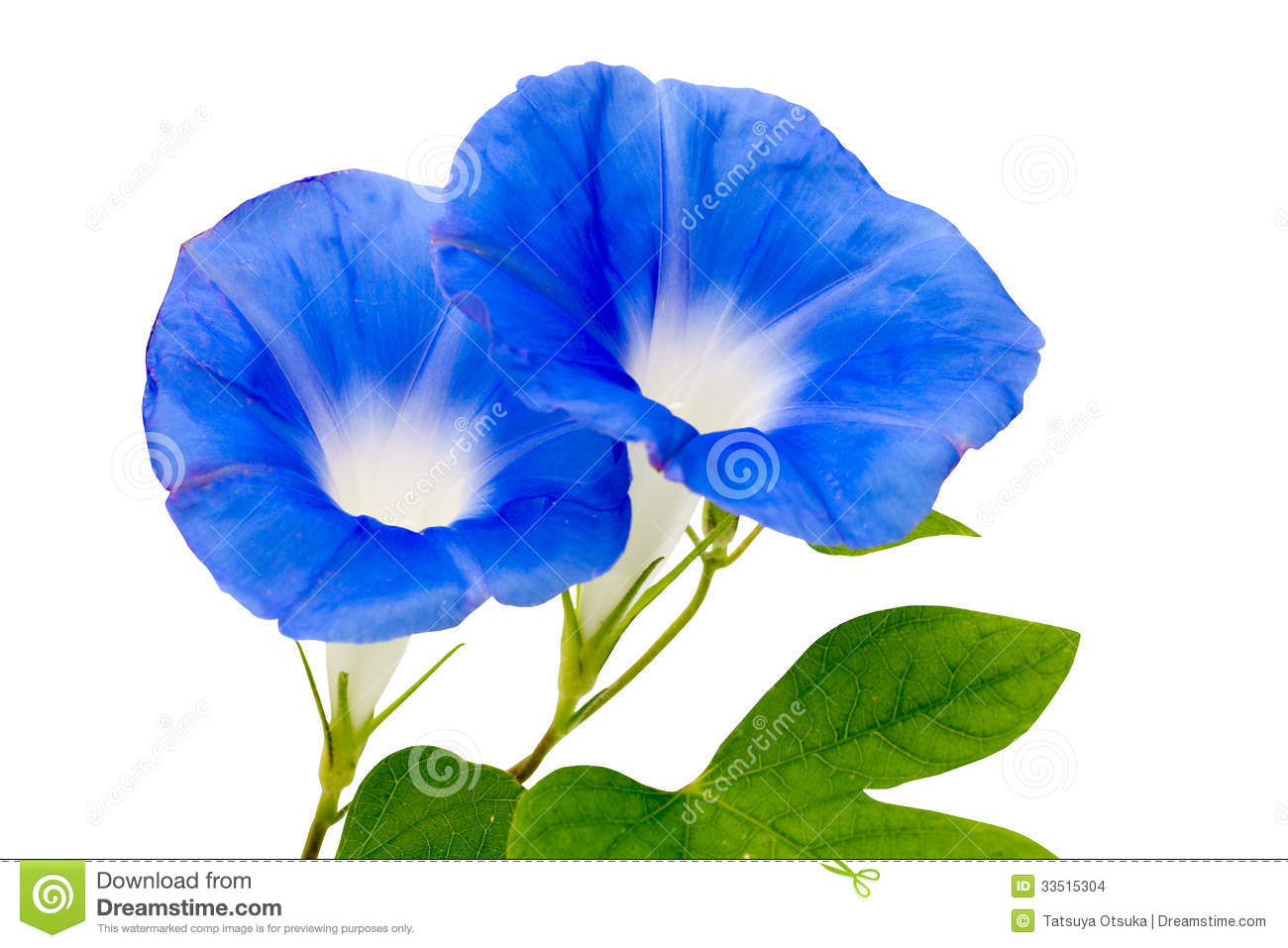Blue Morning Glory In A White Background Stock Photo Image Of