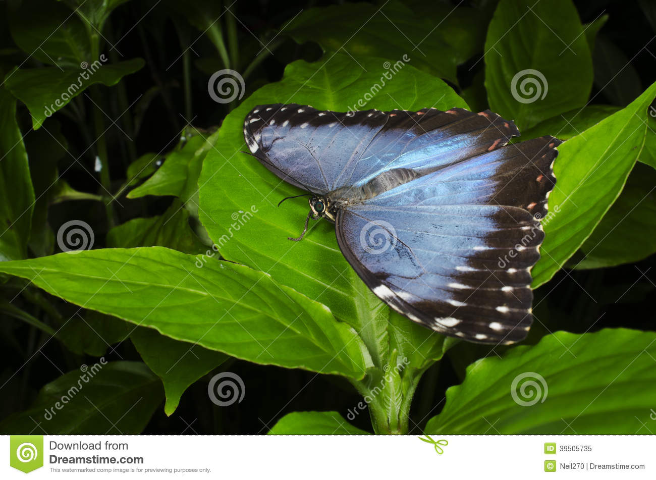 Blue Morpho perched on leaf