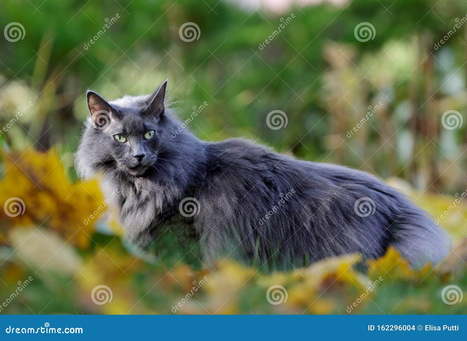 Blue Norwegian Forest Cat Female In Garden In Autumn Stock Photo Image Of Alertness Kitty 162296004