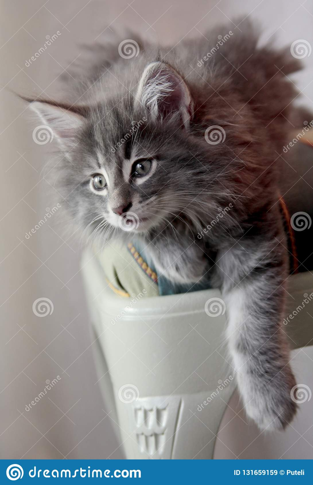 Blue Norwegian Forest Cat Kitten On A Chair Stock Image Image Of Fluffy Chair 131659159